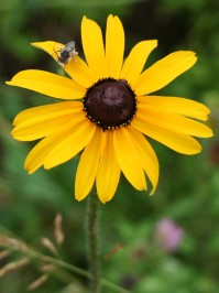 black eyed susan open with bee